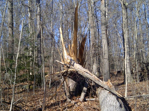 This tree is among those that were damaged by Superstorm Sandy at Ohiopyle State Park.