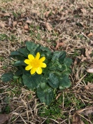 The first flowers in our yard, besides dandelions.