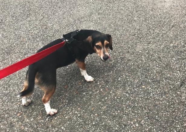 A beagle walks on the road.