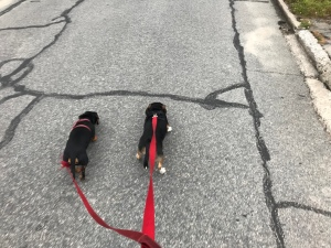 Tonya and Blue. See how straight Blue's leash is? He's a puller.