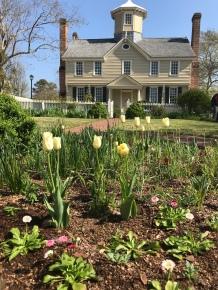 Tulips in the garden.