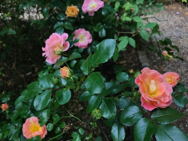 More roses at the Elizabethan Gardens.