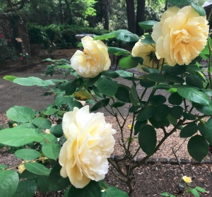 Roses at the Elizabethan gardens.