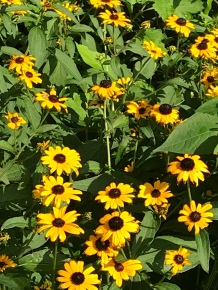 Black-eyed susans. Photo by Mountain Kid 3.