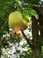 A baby pomegrante.
