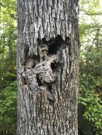 A damaged tree at the Pocosin Lakes Wildlife Refuge.