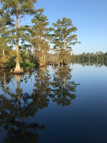 The cypress trees on the Scuppernong River sit above the black water.