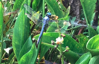 A blue dragonfly is perched on a flower stem.